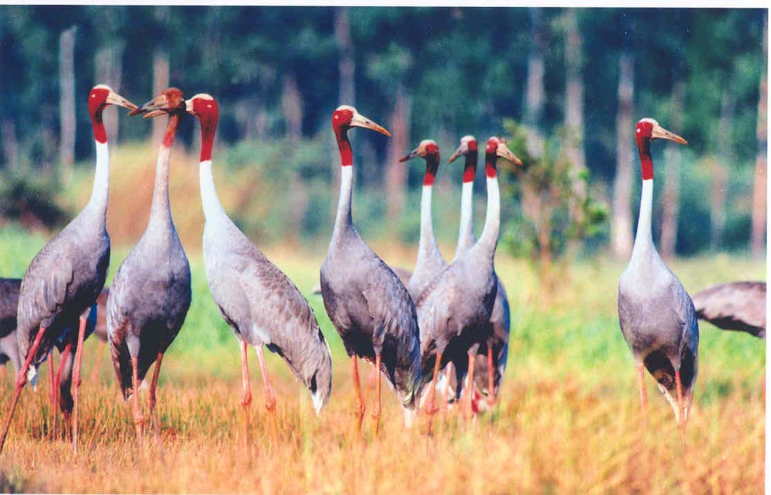 See the red-headed cranes in the dry season